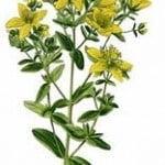 iperico-la-pianta