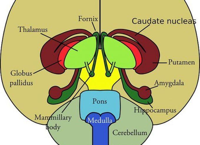Nuove scoperte in merito al ruolo dell'amigdala nell' insorgere degli attacchi di panico