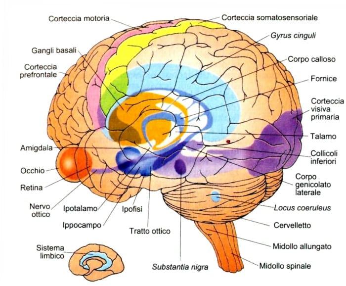 Anatomia del Cervello